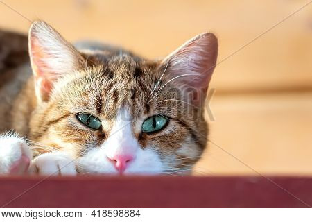 Close-up And Soft Focus Of Cat With Brown Striped Fur And White Muzzle With Open Green Eyes, Lying O