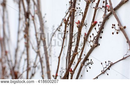 Dry Branches Of Parthenocissus Quinquefolia Or Virginia Creeper Plant Without Leaves At Early Spring