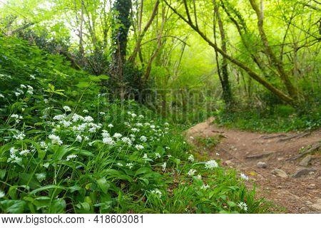 Wild garlic bed Allium ursinum in temperate forest