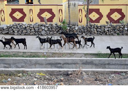 Stock Photo Of Group Of Black Color Goats Walking On Road In Indian Village In Afternoon At Gulbarga