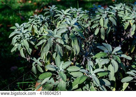 Monochrome Background With A Large Evergreen Leaves Of Salvia Officinalis Shrub, Known As Common Or
