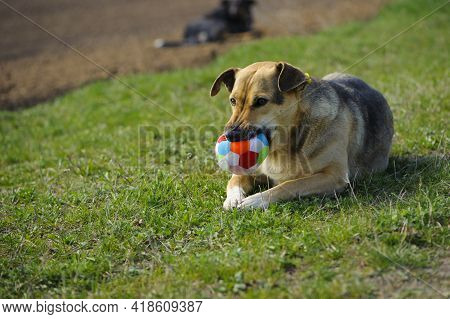 Dog Lying On The Grass, Ball In His Mouth. Red-haired A Large Dog Holds A Ball In His Mouth, Lying O