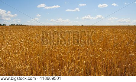 Field Of Golden Wheat With Blurred Blue Sky On Background. Wheat Field. Ears Of Wheat. Rich Harvest.
