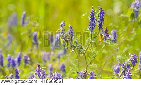 Delicate Meadow Blue Flowers Close-up On A Background Of Green Grass. Floral Background. Purple Flow