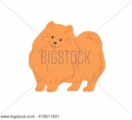 Portrait Of Cute Pomeranian Spitz With Funny Muzzle. Small Toy Dog Of Pom Breed. Adorable Fluffy Pur