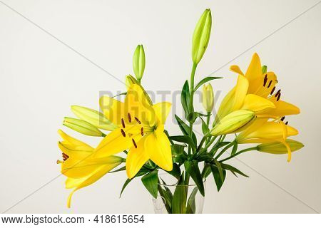 Delicate Vivid Yellow Day Lily Or Lilium Flowers In Full Bloom In A Summer Garden