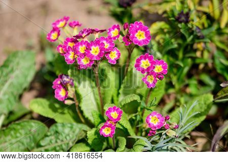 Many Vivid Pink Magenta Flowers Of Primula Plant Also Known As Cowslip Or Common Cowslip Primrose In