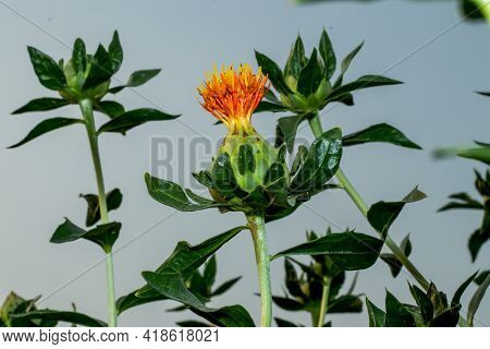 The Single Beautiful Red Red Green And Yellow Safflower And It Is A Branching, Thistle-like Herbaceo