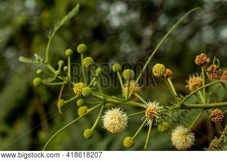 Very Beautiful Ball Shape Flower And Petals Of Leucaena Leucocephala And It Is One Of The Fastest-gr