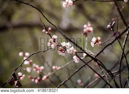Spring Flowers On Blooming Apricot Tree Branch. Apricot Tree In Bloom Against Blue Sky. Spring Seaso