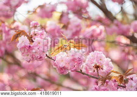 blooming sakura on a sunny day
