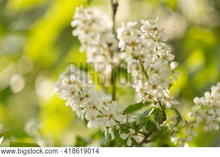 blooming bird cherry on a sunny day