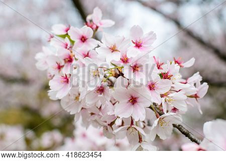 Close Up Of A Branch With White Cherry Tree Flowers In Full Bloom With Blurred Background In A Garde