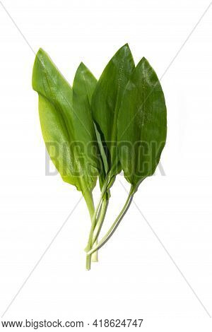 Fresh Leaves Of Wild Garlic Isolated On White Background. Fresh Leaves Of Wild Leek. Useful Properti