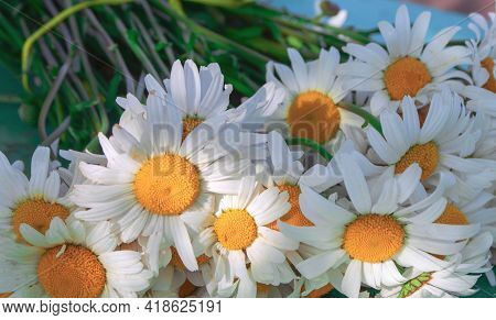 A Bouquet Of Fresh White Daisies Lies On The Bench. Large Flowers Of White Daisies. Medicinal Plant.