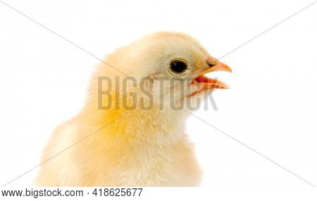 adorable baby chick a over white background