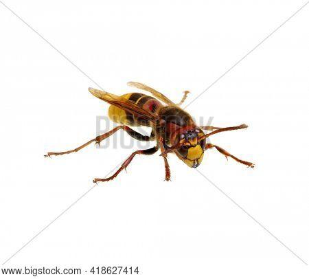 hornet isolated on the white