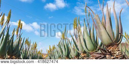 Aloe vera farm plantation Aloe vera medical plant