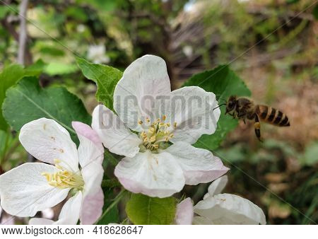 Closeup Shot Of Apple Blossom Flowers With Flying Honey Bee Over It.