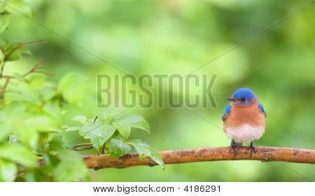 Horizontal photo of Eastern bBluebird perched on lim in Spring poster