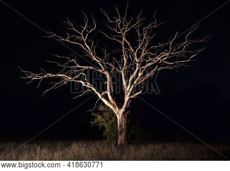 Silhouettes Of Dry Tree Against Night Sky, Beautiful Night Landscape. Outdoors At Night Time