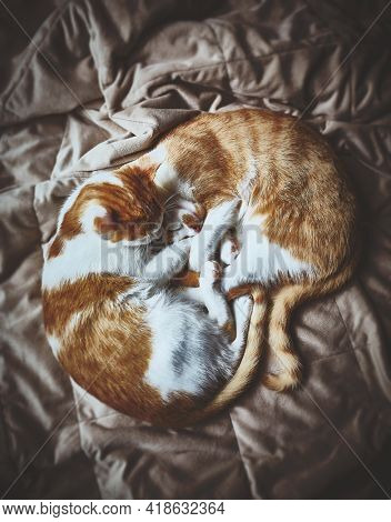 Two young ginger tabby cats lie together and warm on a soft blanket. Top view