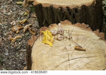 Yellow Autumn Leaf On Chopped Tree Stumps For Firewood Outdoor Near House