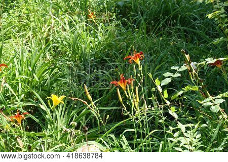 Side View Of Red And Yellow Flowers Of Daylilies In July
