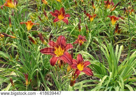 Vibrant Red And Yellow Flowers Of Daylilies In June