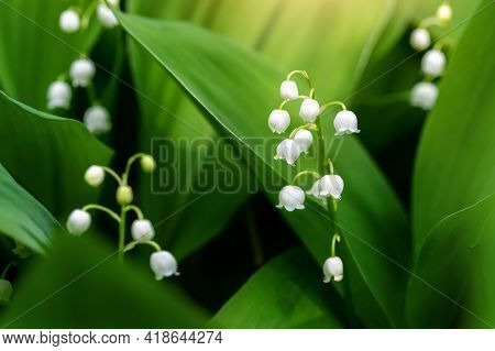 Close-up Detail Macro View Of Growing Lily Of The Valley Flower. Convallaria Majalis Wild Plant In G