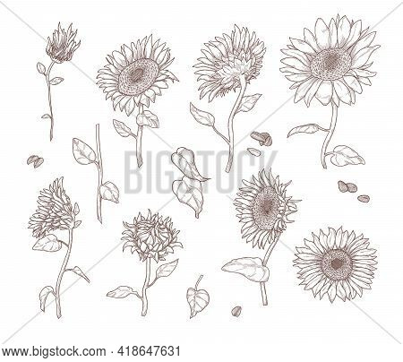 Set Of Monochrome Sunflower Sketches. Flat Vector Illustration. Sunflower Leaves, Stems, Seeds And P