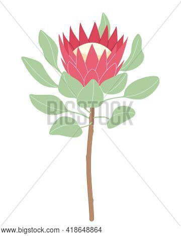 Simple Pink Protea Isolated On White Background. Big Flower Head And Green Leaves On High Stem. Bota