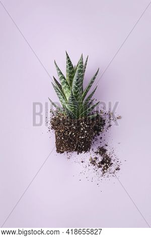 Aloe With Soil Without A Pot. Aloe On A Light Purple Background With Potted Soil.