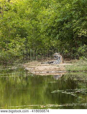 Habitat Image Of Wild Royal Bengal Male Tiger With Reflection In Water In Natural Scenic Environment