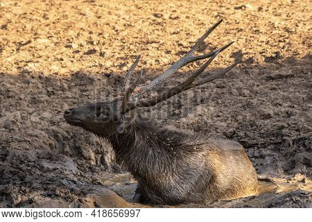 Sambar Deer Or Rusa Unicolor Cooling Off In Slush Or Puddle Or Mud Water At Waterhole In Ranthambore