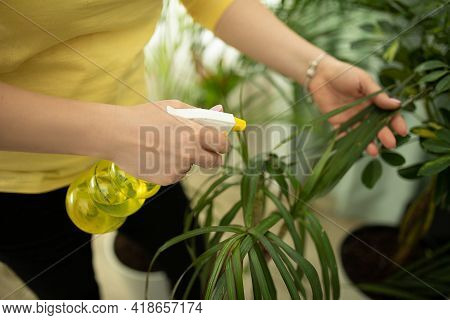 Unrecognizable Woman Watering And Spraying Houseplant In Living Room Close Up, Using Water Spray. Co