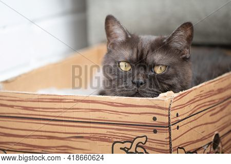 Cute Gray Tabby Cat Hides In Cardboard Box