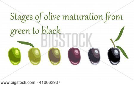 Six Olive Fruits Of Varying Degrees Of Maturity From Green To Black. Plants And Fruit Trees