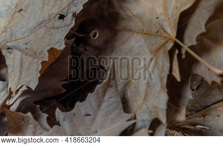 Background Of Dry Maple And Maple Leaves.