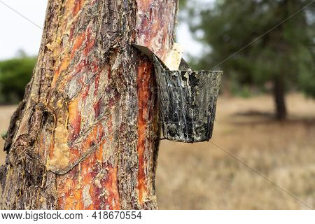 Resin Extraction Work In A Resin Pine Forest