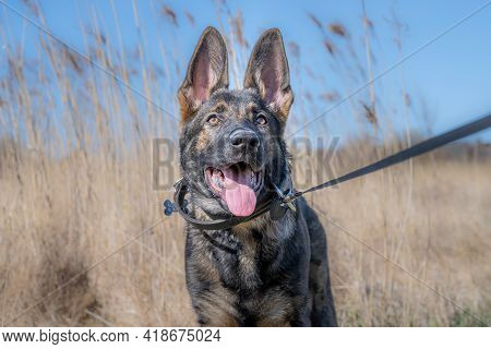 A Dog Portrait Of A Happy Four Months Old German Shepherd Puppy In High, Dry Grass. Working Line Bre