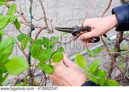 Prune Pruning Shears Schisandra In The Garden