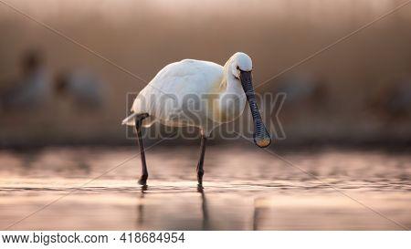 Eurasian Spoonbill Walking In Water In Spring Sunset