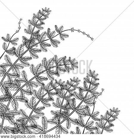 Vector Corner Bunch Of Outline Aquatic Plant Myriophyllum Spicatum Or Eurasian Water Milfoil In Blac