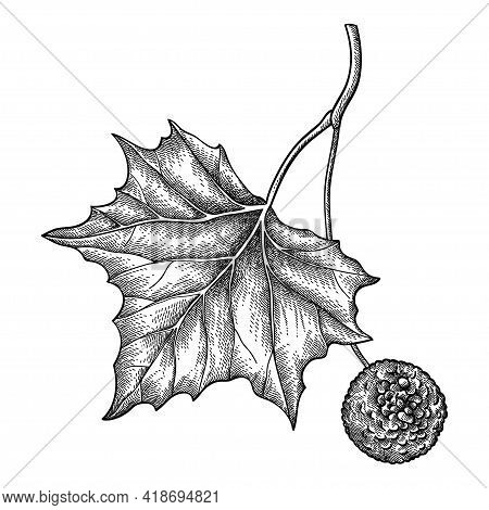 Vector Hand Drawn Sketch Of American Sycamore Or Western Plane Twig With Fruit And Leaf In Black Iso
