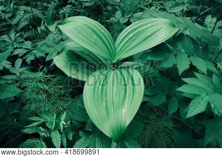 A Plant Of Unusual Shape In The Forest. Green Oval Leaves In The Grass. Beautiful Relief Surface Of