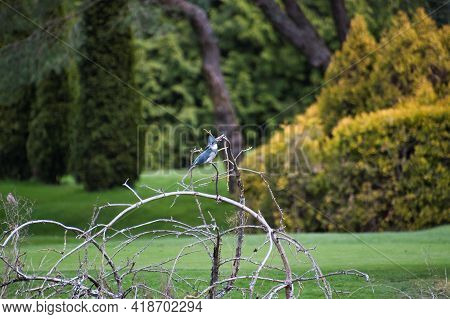A Belted Kingfisher Perching On The Branch.   West Vancouver Bc Canada