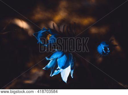 Three Pasqueflowers Blooming In The May Dark Magic Forest. Beautiful Flowers. The Genus Pulsatilla.