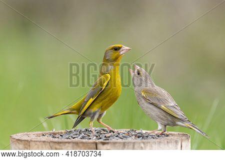 Male And Female Greenfinch Carduelis Chloris. Bird Feeder.