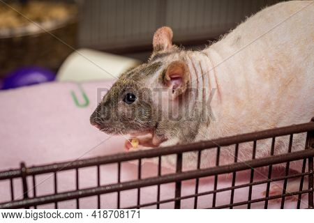 Friendly Double-rex Patchwork Hairless Pet Rat Eating Food Inside Cage
